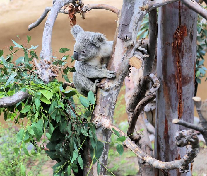 Koala and Tree.jpg