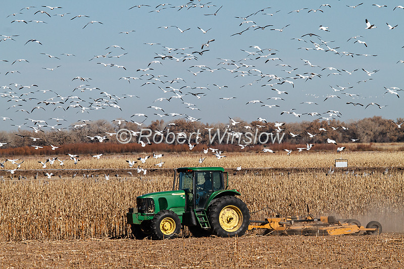 Tractor Cutting Corn, Snow Geese Flying Overhead, Bosque del Apache National Wildlife Refuge, New Mexico, USA, North America