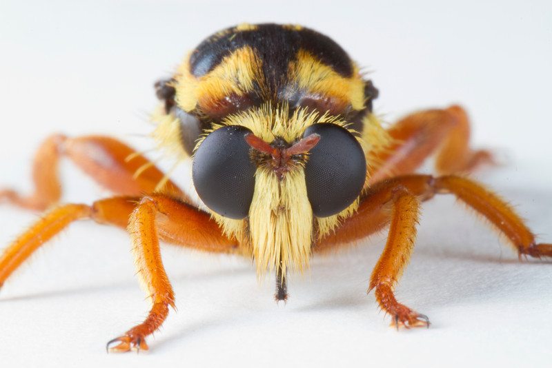 Bee mimic robber fly 2