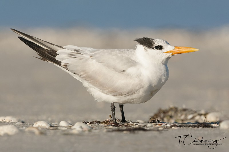 Royal Tern Eight-1548725678818.jpg