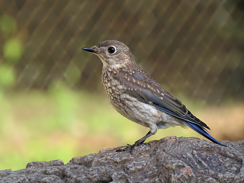 sx50_bluebird_fledgling_boas_071.jpg