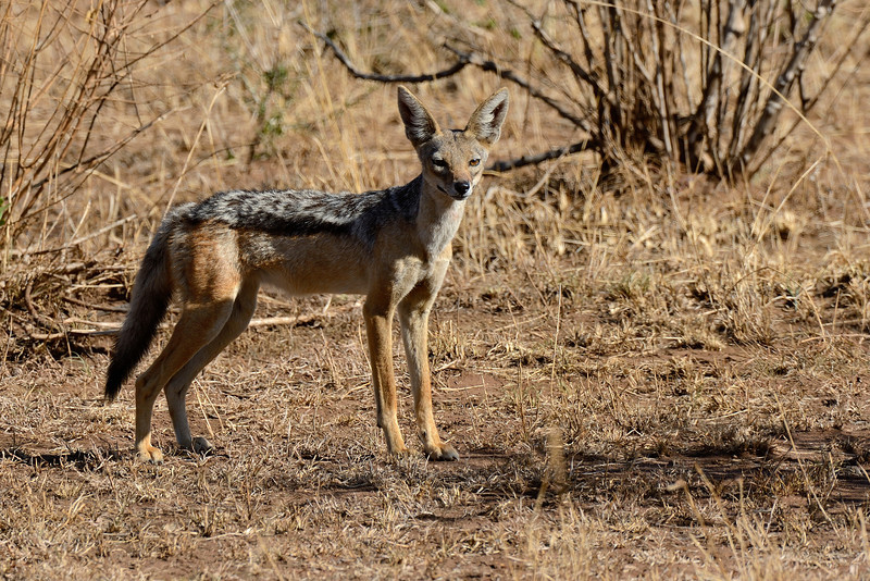 Black-backed-Jackal.jpg