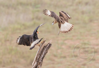 Caracaras (Mexican Eagle)