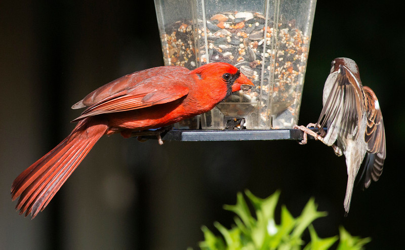 cardinalandsparrow3.jpg