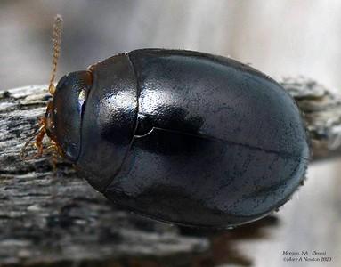 Philhydronopa aeneipennis (Chrysomelinae)
