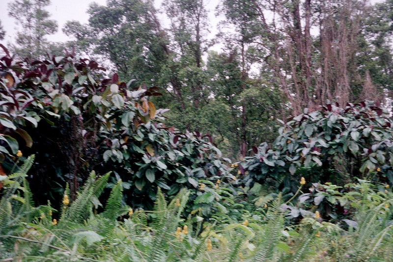 Miconia invades from planted areas into surrounding forest.  (photoID:bhg000346)