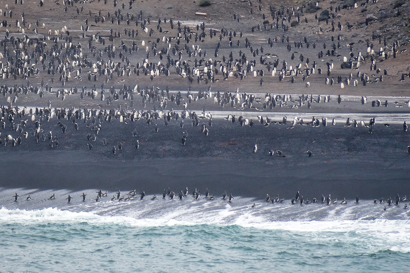 Chinstrap Penguin Colony