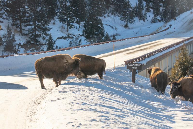 387A9510 Bison on Yellowstone bridge.jpg