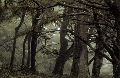 Allen Grove - Monterey Cypress