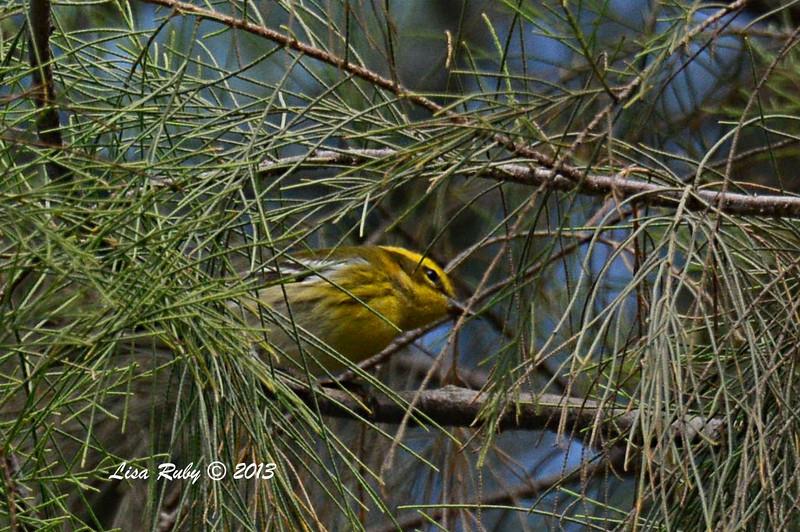 Townsend's Warbler - Bird and Butterfly Garden - 10/27/13