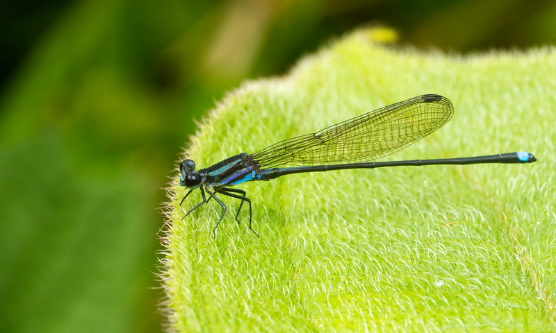 A colorful damselfly from Panama.