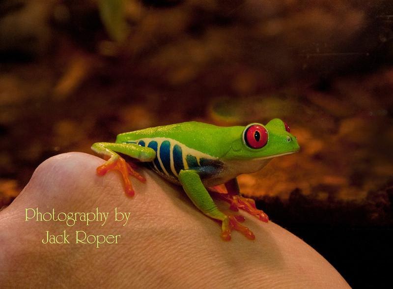 Red eye frog in hand .jpg