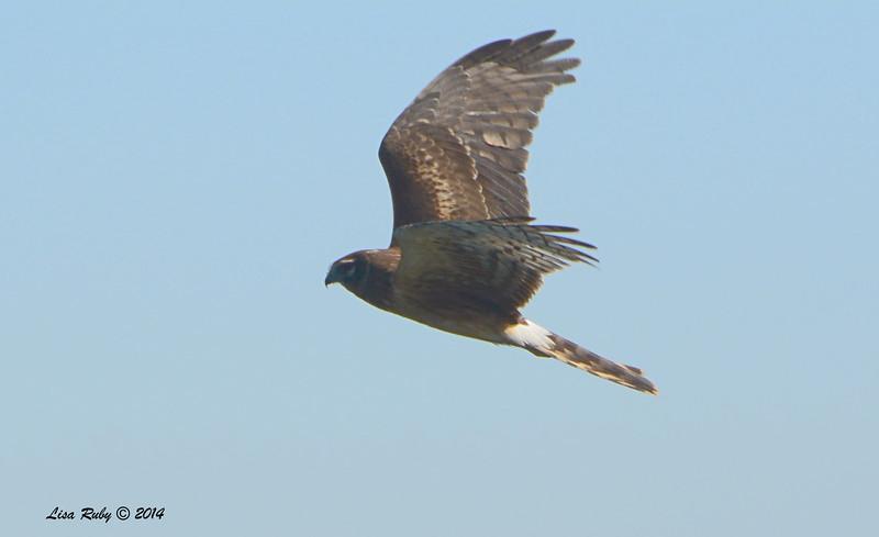 Northern Harrier - 11/8/2014 - Salt Works