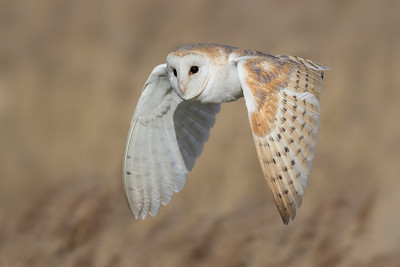 Owls of the Marsh