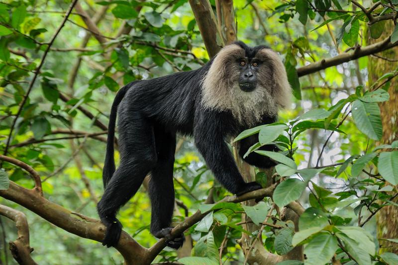 Lion-tailed-Macaque-Valparai.jpg