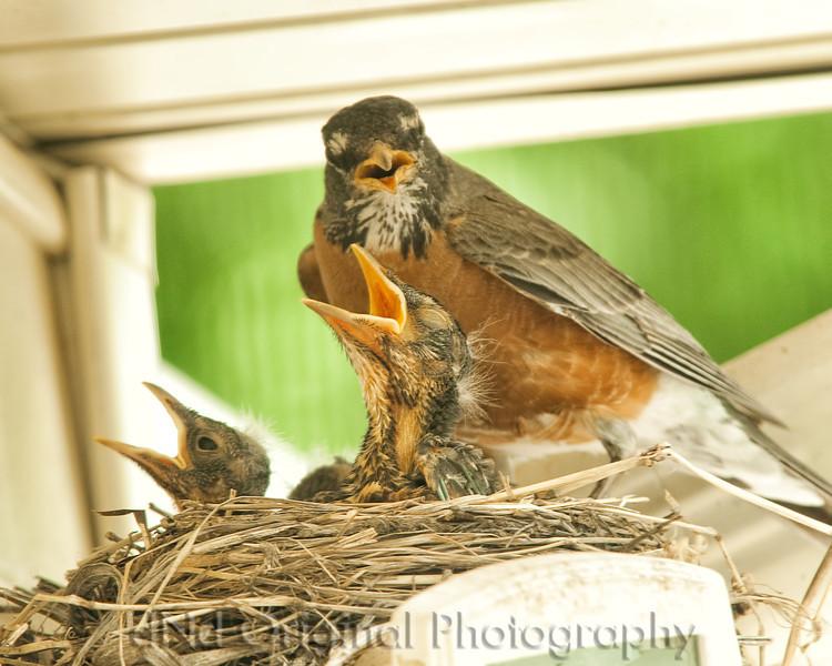 053 Baby Robins Spring 2013.jpg