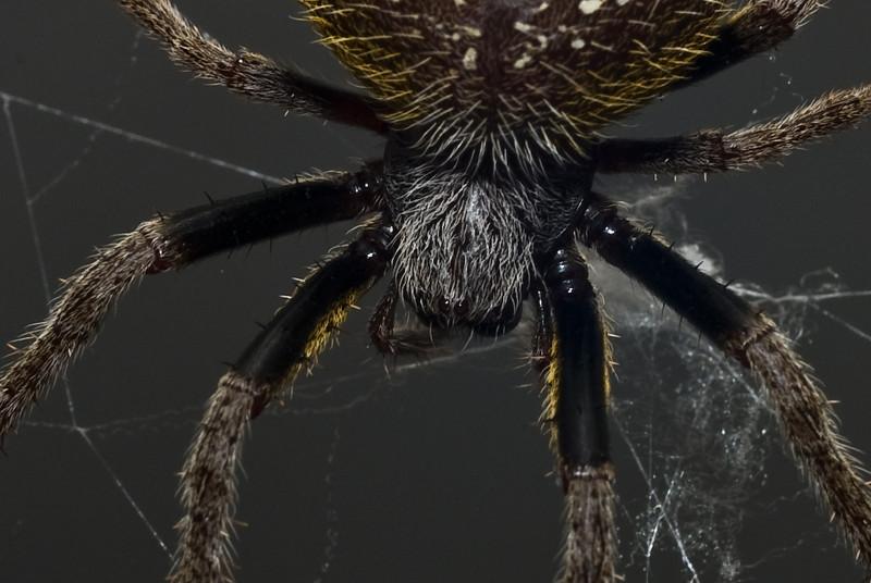 Garden Orb Spider-9038.jpg