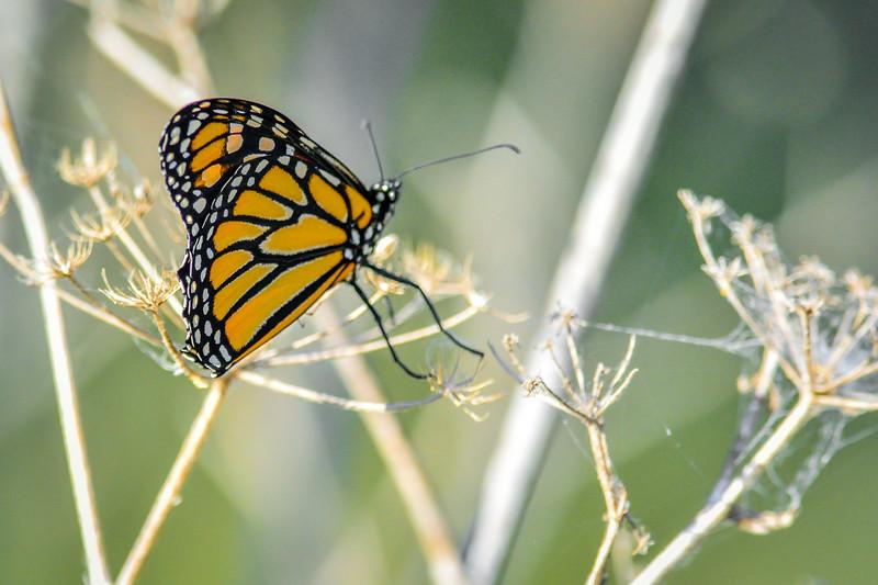 -Brad R Lewis_Butterfly - Butterfly - Butterfly Coyote Creek Trail 2014-07-25_014.jpg