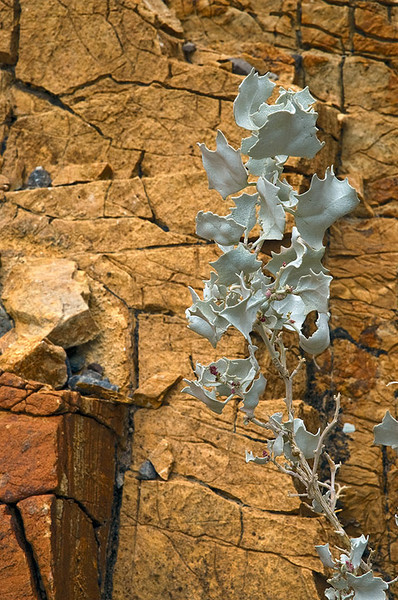 Desert holly in Mosaic Canyon Death Valley