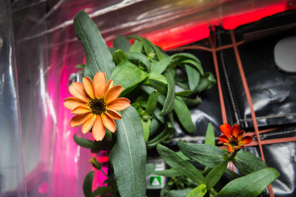 . This Jan. 16, 2016 photo made available by NASA shows a blooming zinnia flower grown aboard the International Space Station. This flowering crop experiment began on Nov. 16, 2015 in an effort to better understand how plants grow in microgravity. (Scott Kelly/NASA via AP)