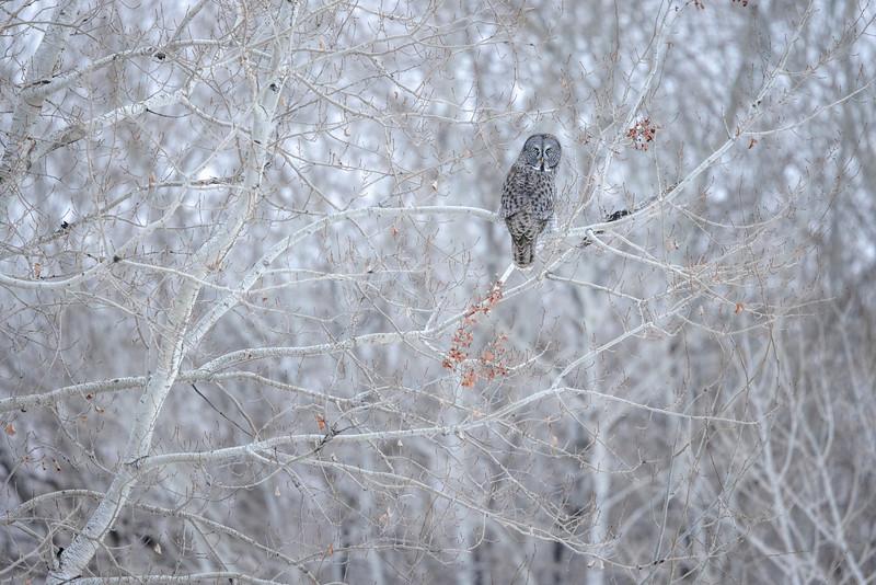 Great Gray Owl along CR5 just N of CR8 Sax-Zim Bog MN  IMGC7728.jpg