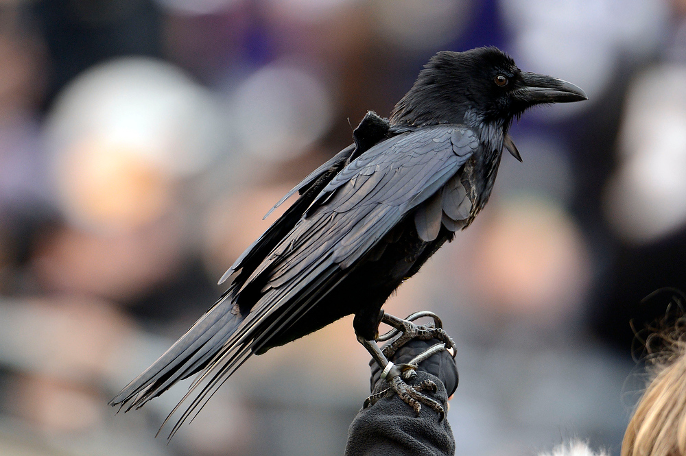 Description of . A Raven looks on during the Denver Broncos Baltimore Ravens game Sunday, December 16, 2012 at M&T Bank Stadium. John Leyba, The Denver Post