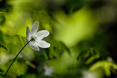 Wood anemone surrounded by green ferns