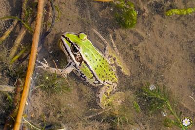 Batraciens (Amphibia)
