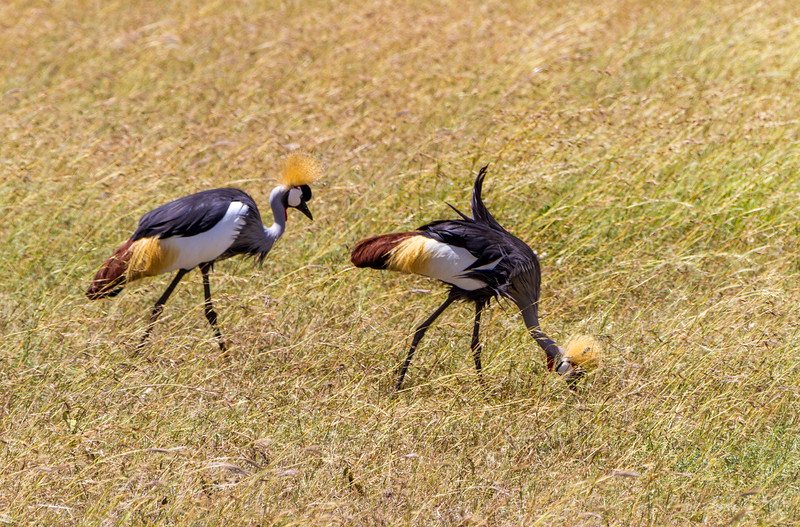 Grey crowned crane perching on grass - East Africa - Tanzania