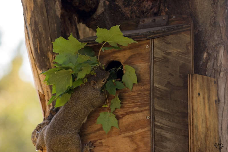 Mom stuffing the leaves from the prior shot into the nest box..Not a great shot, might get a better one later.