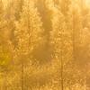 Sunrise among tamarack larch trees, Larix laricina, near Westlock, Alberta, Canada.