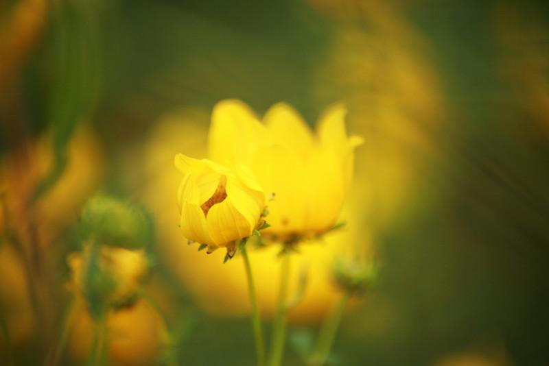 Tickseed sunflowers- my favorite