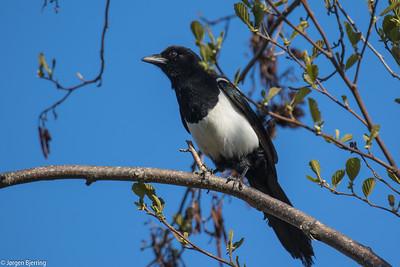 Eurasian Magpie - Husskade