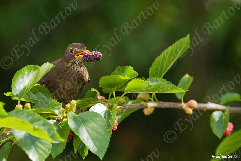 שחרור - Common Blackbird (Turdus merula) 4