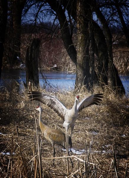 Breeding season Cranes  2   .jpg