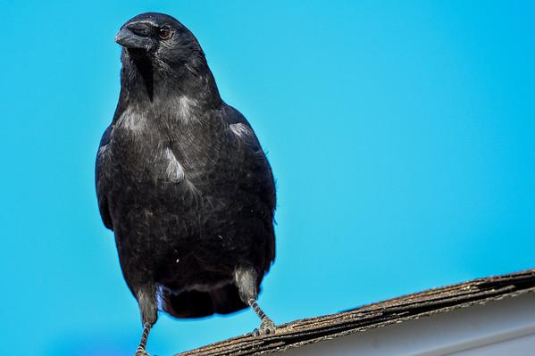 10 2013 Oct 8 Blue Jay & A Raven*^