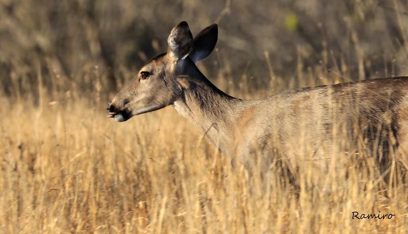 Deer IMG_4517.jpg