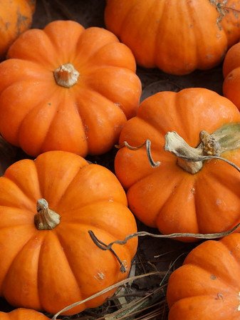 Stock Photography- Pumpkin Patch