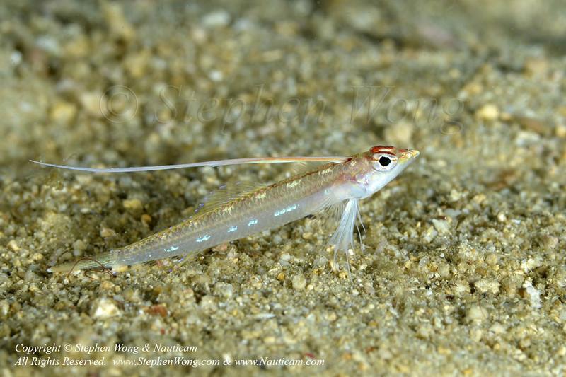 Signalfish 01 0891 Stephen WONG.jpg