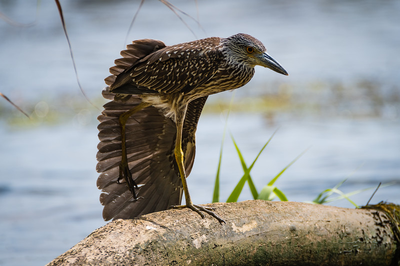 Night Heron 2 082717-1 - Copy.jpg
