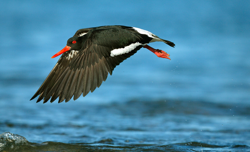 Pied Oystercatcher take-off MASTER.jpg