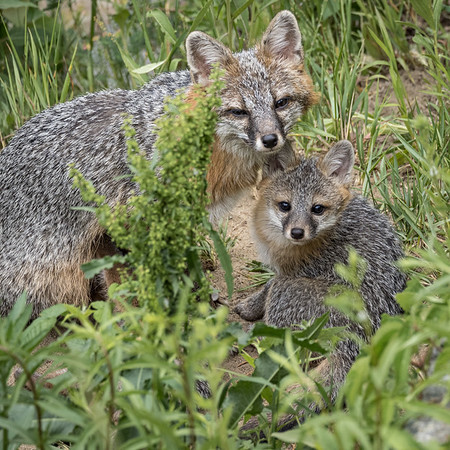 Animals - Gray Foxes, and other animals Wild & Tame