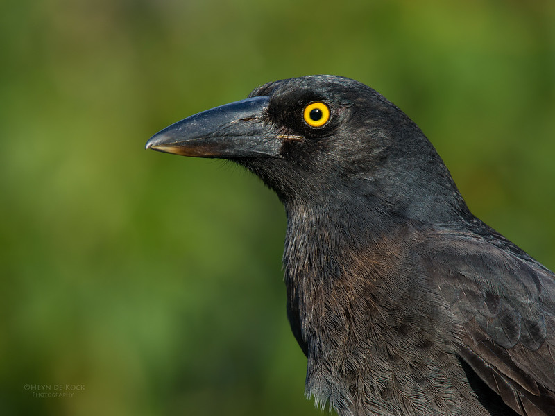 Pied Currawong, Worongary, QLD, March 2016-2.jpg