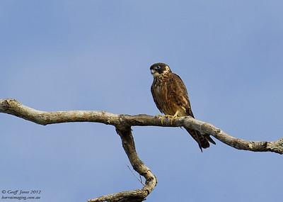 Falcons, Hobbies, etcFamily Falconidae