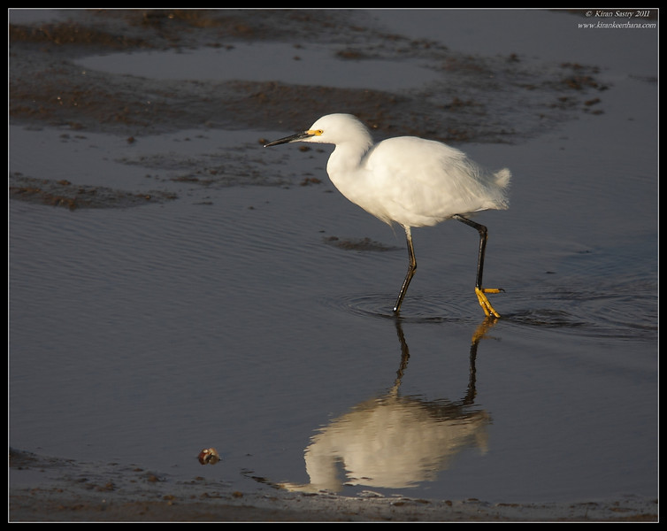 Snowy Egret, Bolsa Chica Ecological Reserve, Orange County, California, February 2011