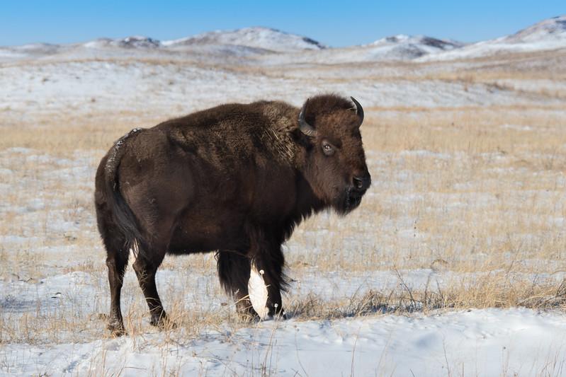 Buffalo Hunt (1).JPG