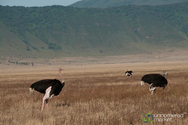 Ostrich in Ngorongoro Crater - Tanzania