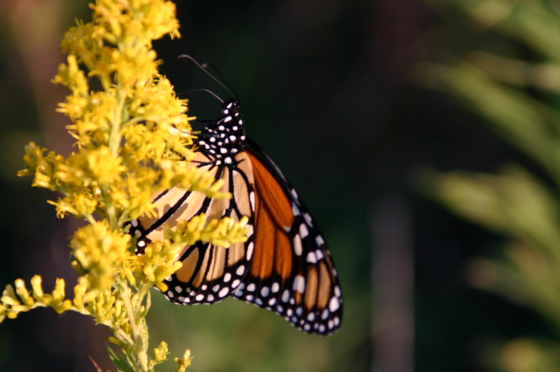 monarch on solidago.jpg