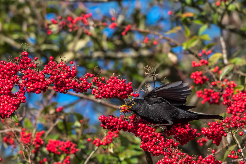 2017-01-02 RC Redwings Blackbirds Berries-2-134.jpg