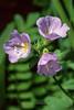 Jacob's Ladder (Polemonium pulcherrimum)